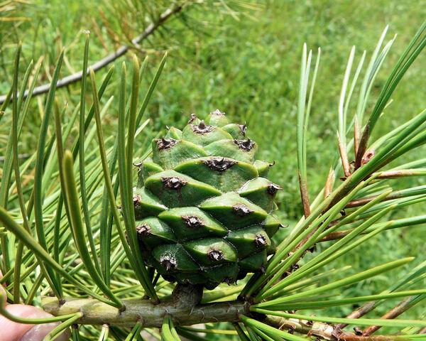 Pinus bungeana Zucc. ex Endl.