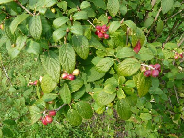 Viburnum mongolicum (Pall.) Rehder