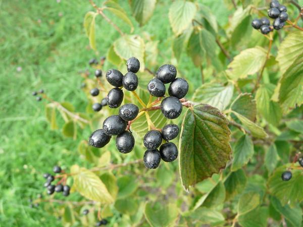 Viburnum rafinesquianum Schutt.