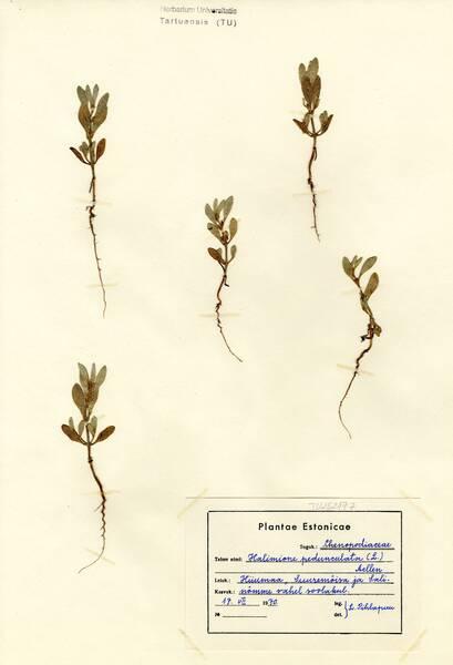 Atriplex pedunculata L.