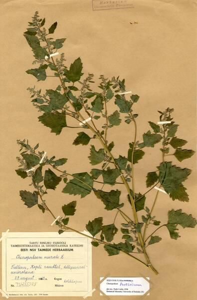 Chenopodium suecicum Murr