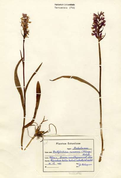 Dactylorhiza russowii (Klinge) Holub