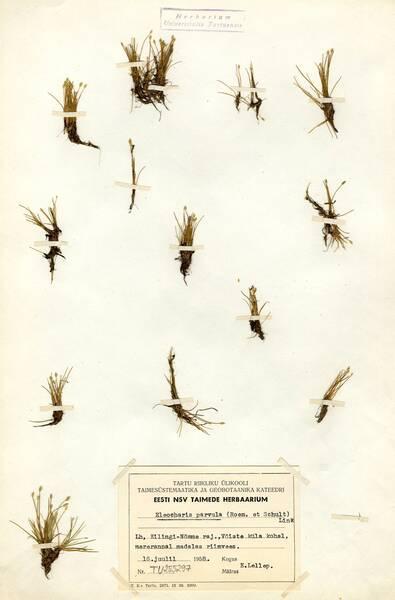 Eleocharis parvula (Roem. & Schult.) Link ex Bluff, Nees & Schauer