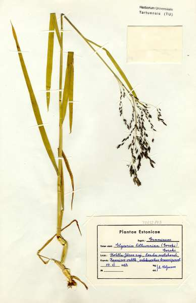 Glyceria lithuanica (Gorski) Gorski