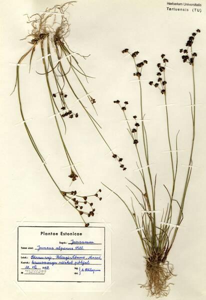 Juncus alpinoarticulatus Chaix subsp. nodulosus (Wahlenb.) Haemet-Ahti