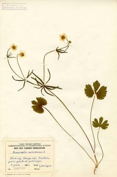 Ranunculus auricomus L. s.l.