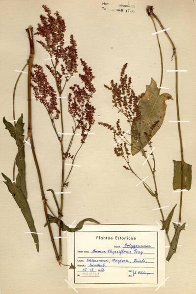 Rumex thyrsiflorus Fingerh.