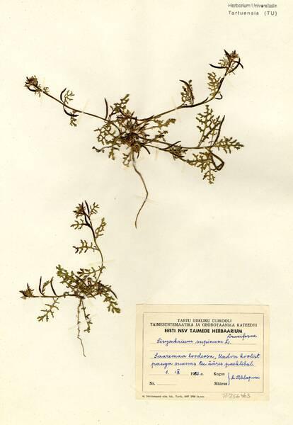 Sisymbrium supinum L.