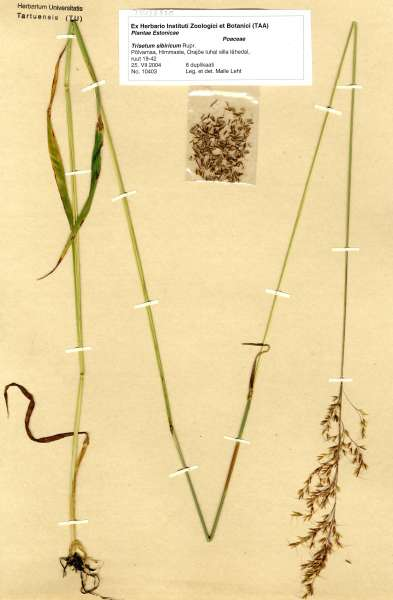 Trisetaria sibirica litoralis (Rupr.) Banfi & Soldano