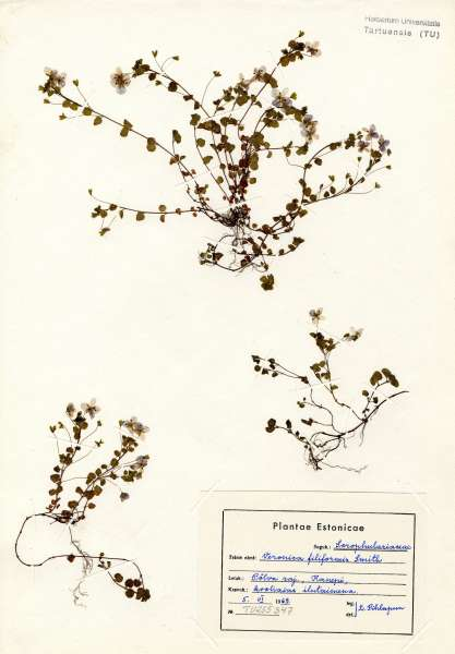 Veronica filiformis Sm.