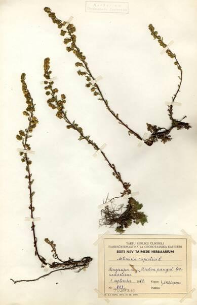 Artemisia rupestris L.