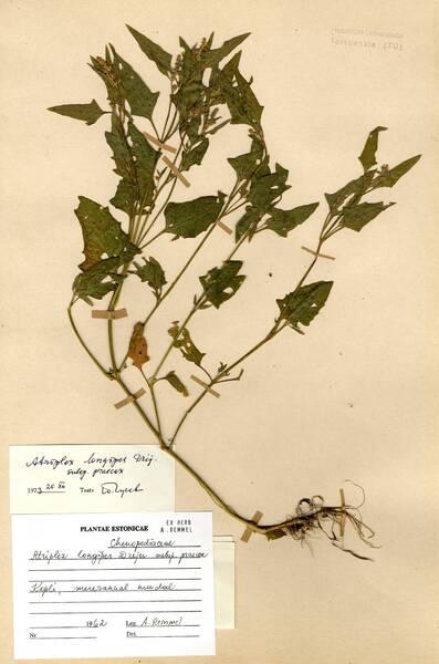 Atriplex longipes Drejer subsp. praecox (Hulph.) Turesson