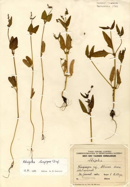 Atriplex longipes Drejer subsp. longipes