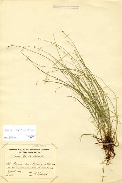 Carex disperma Dewey