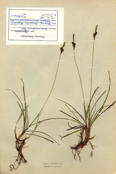 Carex ericetorum Pollich