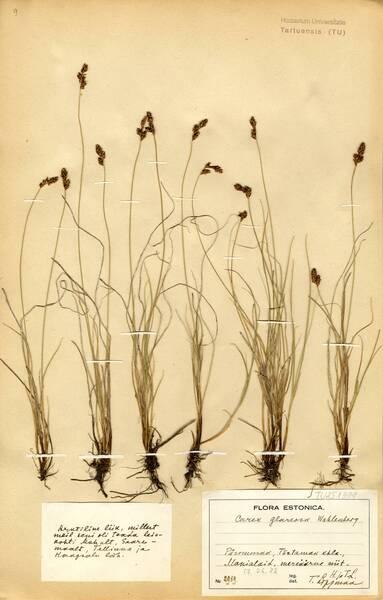 Carex glareosa Wahlenb.