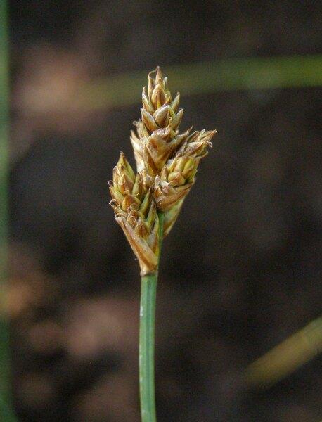 Carex heleonastes L.f.