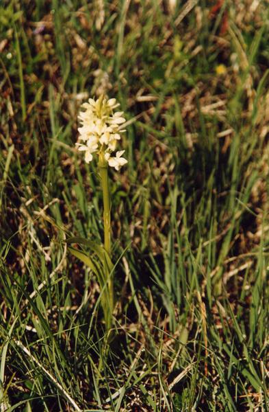Dactylorhiza ochroleuca Boll