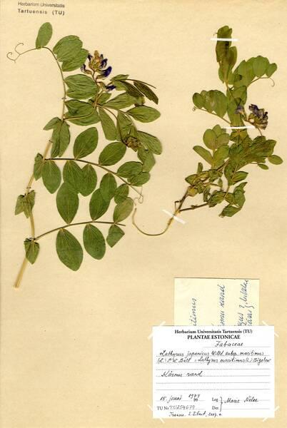 Lathyrus japonicus Willd. subsp. maritimus (L.) P.W.Ball