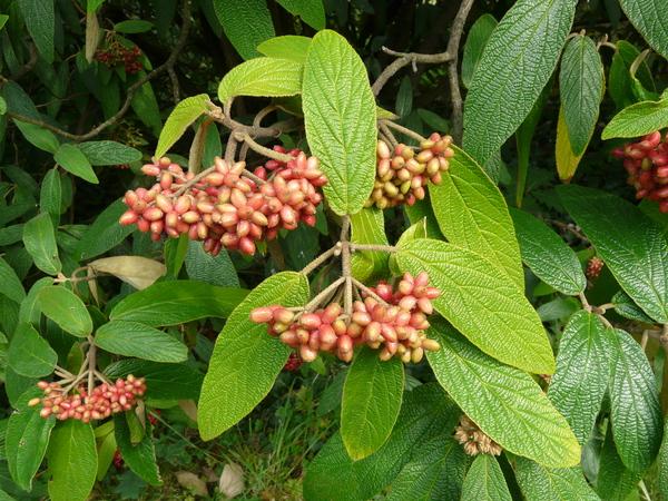 Viburnum rhytidophyllum Hemsl.