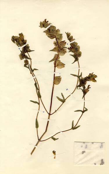 Rhinanthus angustifolius C.C.Gmel. subsp. angustifolius