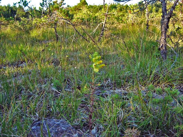 Rhinanthus rumelicus Velen. subsp. osiliensis Ronninger & Saarsoo