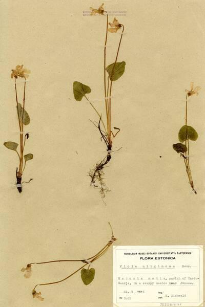Viola uliginosa Besser