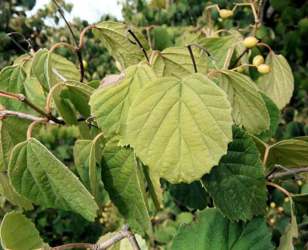 Viburnum dasyanthum Rehder