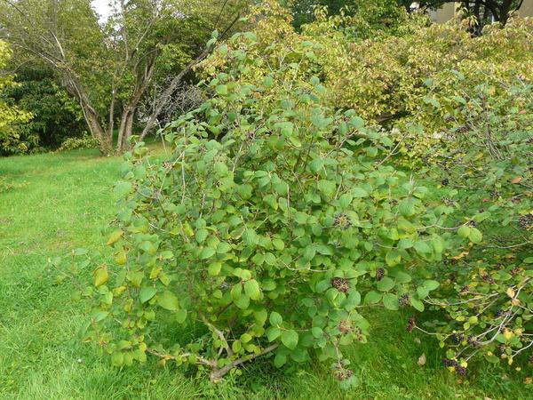 Viburnum cotinifolium D.Don