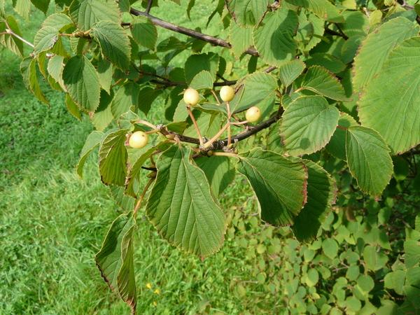 Viburnum lobophyllum Graebn.