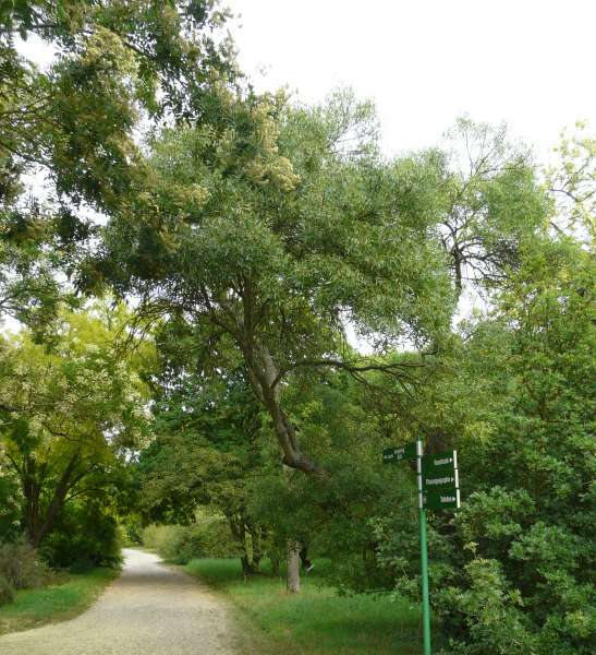 Fraxinus angustifolia Vahl subsp. oxycarpa (M.Bieb. ex Willd.) Franco & Rocha Afonso