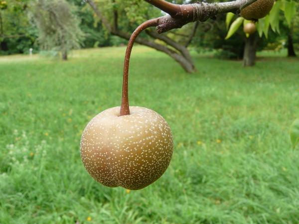 Pyrus pyrifolia (Burm. f.) Nakai
