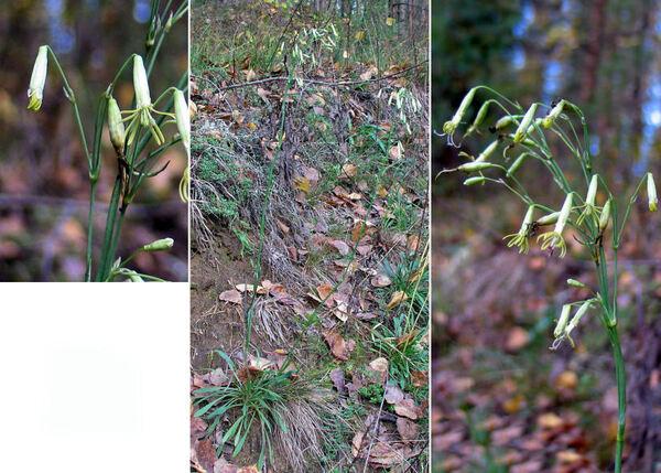 Silene chlorantha (Willd.) Ehrh.