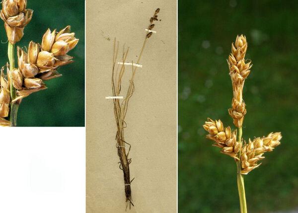 Carex mackenziei V.I.Krezc.