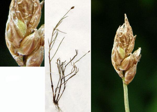 Carex chordorrhiza L.f.