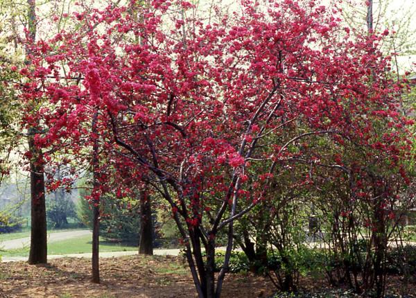 Malus x purpurea (E. Barbier) Rehder f. lemoinei (Lemoine) Rehder