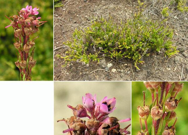 Bruckenthalia spiculifolia (Salisb.) Reichenb.