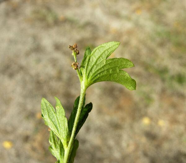 Acalypha virginica L.