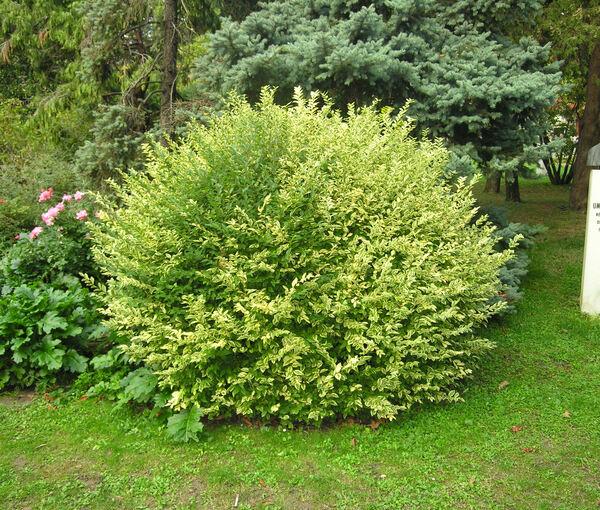 Ligustrum ovalifolium Hassk. 'Aureomarginatum'
