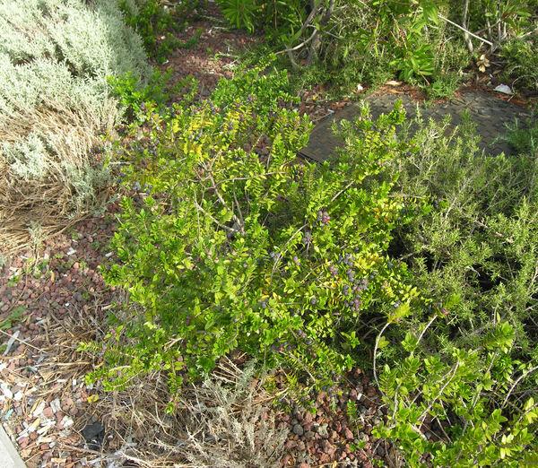 Myrtus communis L. subsp. tarentina (L.) Nyman