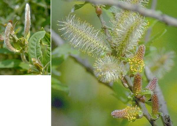Salix pedicellata Desf.