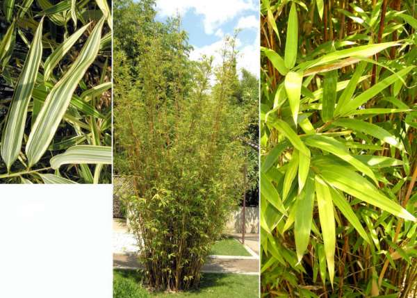 Bambusa sp.