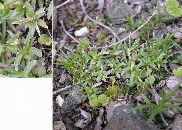 Omalotheca supina (L.) DC.