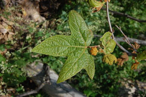 Platanus racemosa Nutt.