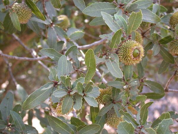 Quercus calliprinos Webb