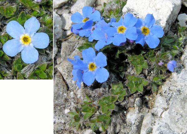 Eritrichium nanum (L.) Schrad. ex Gaudin