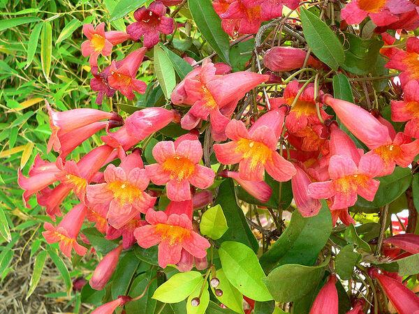 Bignonia capreolata L.