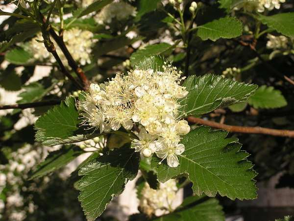 Sorbus mougeotii Soy.-Will. & Godr.