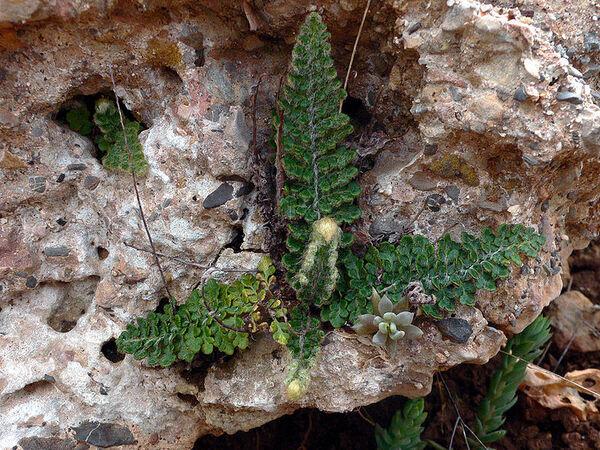 Cosentinia vellea (Aiton) Tod. subsp. vellea