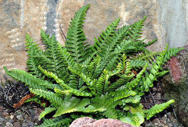 Asplenium marinum L.